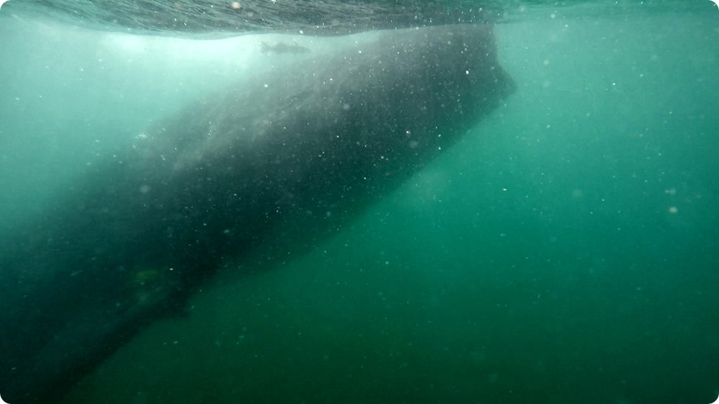 Whale Shark10