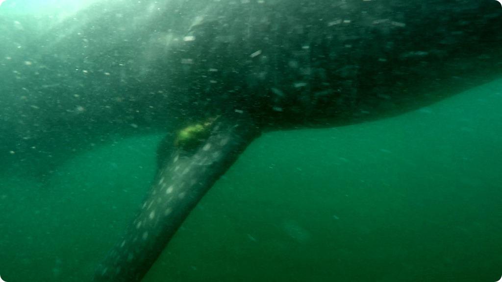 Whale Shark11
