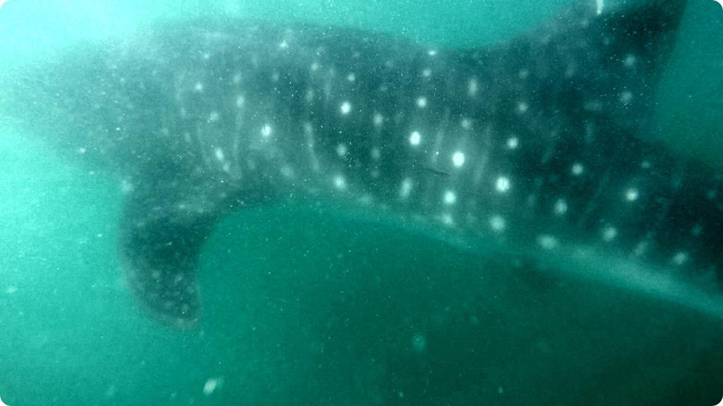 Whale Shark15