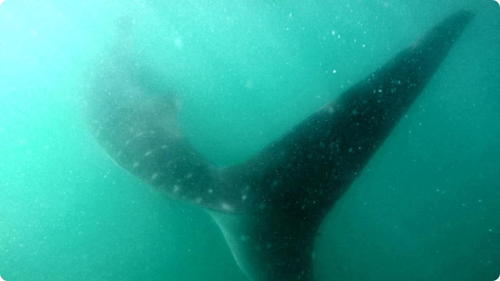 Whale Shark16